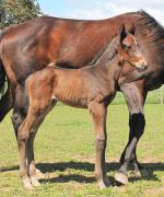 Breednet Gallery - Zoustar Chatswood Stud, Vic