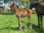 Breednet Gallery - Golden Snake (USA) Bombora Downs, Vic