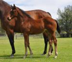 Breednet Gallery - Rubick Holbrook Thoroughbreds, NSW
