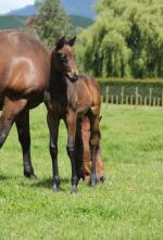 Breednet Gallery - Reliable Man (GB) Trelawney Stud, NZ