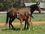 Breednet Gallery - Therock Bombora Downs, Vic