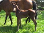 Breednet Gallery - Warhorse Bombora Downs, Vic