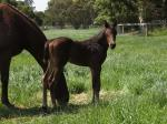 Breednet Gallery - Warhorse Bombora Downs, Vic