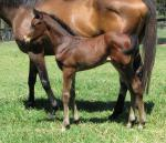 Breednet Gallery - Al Maher Davali Thoroughbreds