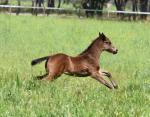Breednet Gallery - War Blue Gum Farm, Vic