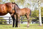 Breednet Gallery - Reliable Man (GB) Westbury Stud, NZ