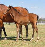 Breednet Gallery - Adelaide (IRE) Coolmore, NSW