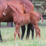 Breednet Gallery - Shooting to Win Segenhoe Stud, NSW