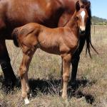 Breednet Gallery - Unusual Suspect (USA) Glen Avon Lodge, Qld
