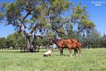 Breednet Gallery - Rubick Segenhoe Stud, NSW