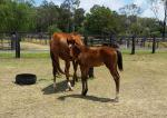 Breednet Gallery - Smart Missile Helden Park Stud, NSW