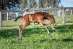 Breednet Gallery - I Am Invincible Ashleigh Thoroughbreds, NSW