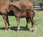 Breednet Gallery - Dissident Davali Thoroughbreds, NSW