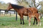 Breednet Gallery - I Am Invincible Murrulla Stud, NSW
