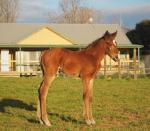 Breednet Gallery - All American Chatswood Stud, Vic