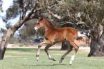 Breednet Gallery - Dundeel Three Bridges Thoroughbreds, Vic