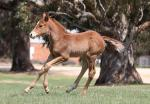Breednet Gallery - Snitzel Three Bridges Thoroughbreds, Vic