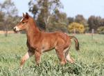 Breednet Gallery - Toronado (IRE) Three Bridges Thoroughbreds, Vic