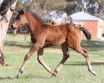 Breednet Gallery - Unencumbered Three Bridges Thoroughbreds, Vic
