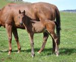 Breednet Gallery - Rock Hero Lauriston Park Stud, Vic
