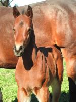 Breednet Gallery - Headwater Vinery Stud, NSW