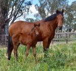 Breednet Gallery - Dundeel Phoenix Broodmare Farm, Vic