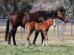 Breednet Gallery - Star Witness Widden Stud, NSW