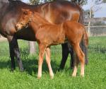 Breednet Gallery - Pride of Dubai Coolmore, NSW