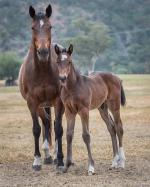 Breednet Gallery - Zoustar Holbrook Thoroughbreds, NSW