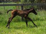 Breednet Gallery - Foxwedge Bombora Downs, Vic