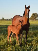 Breednet Gallery - Real Impact (Jpn) Phoenix Broodmare Farm, Vic