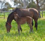 Breednet Gallery - Spill the Beans Phoenix Broodmare Farm, Vic