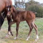 Breednet Gallery - Master of Design Oakford Thoroughbred Farm, Vic