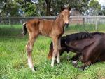 Breednet Gallery - Anacheeva Bombora Downs, Vic
