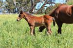 Breednet Gallery - Headwater Cornerstone Stud, SA