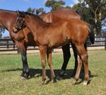 Breednet Gallery - Vancouver Coolmore, NSW