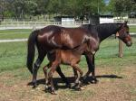 Breednet Gallery - Fighting Sun Royston Stud, Qld