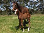 Breednet Gallery - Written Tycoon Bombora Downs, Vic