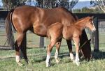 Breednet Gallery - Foxwedge Hampton Park Thoroughbreds, NSW