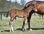 Breednet Gallery - Super One Hampton Park Thoroughbreds, NSW