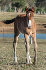 Breednet Gallery - Headwater Holbrook Thoroughbreds, NSW