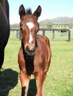 Breednet Gallery - Husson (Arg) Vinery Stud, NSW