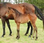Breednet Gallery - Pluck (USA) Vinery Stud, NSW