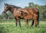 Breednet Gallery - Super One Newgate Farm, NSW