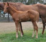 Breednet Gallery - Pride of Dubai Davali Thoroughbreds, NSW