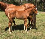 Breednet Gallery - Helmet Davali Thoroughbreds, NSW