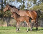 Breednet Gallery - No Nay Never (USA) Torryburn Stud