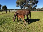 Breednet Gallery - Zoustar Hollylodge, Vic