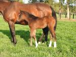 Breednet Gallery - All Too Hard Vinery Stud, NSW