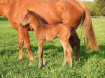 Breednet Gallery - Your Song Vinery Stud, NSW